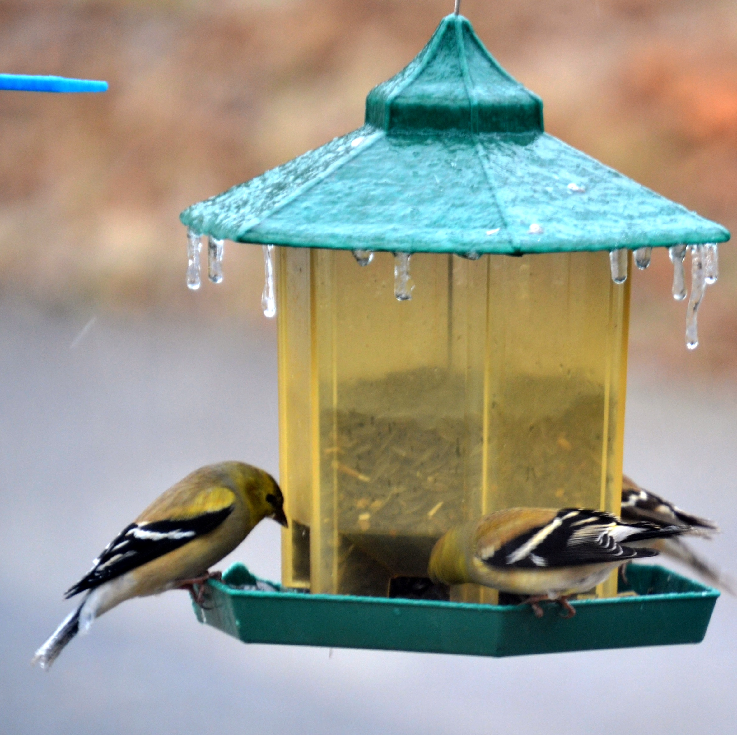 Picture of American Goldfinches