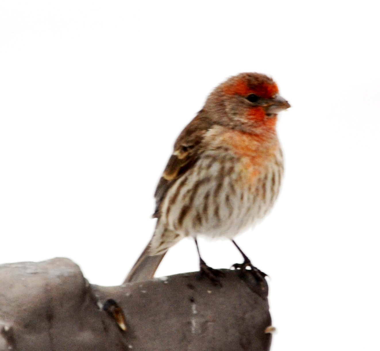 Picture of House finch