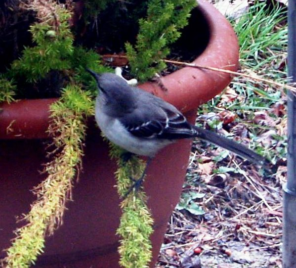 Picture of southern mockingbird