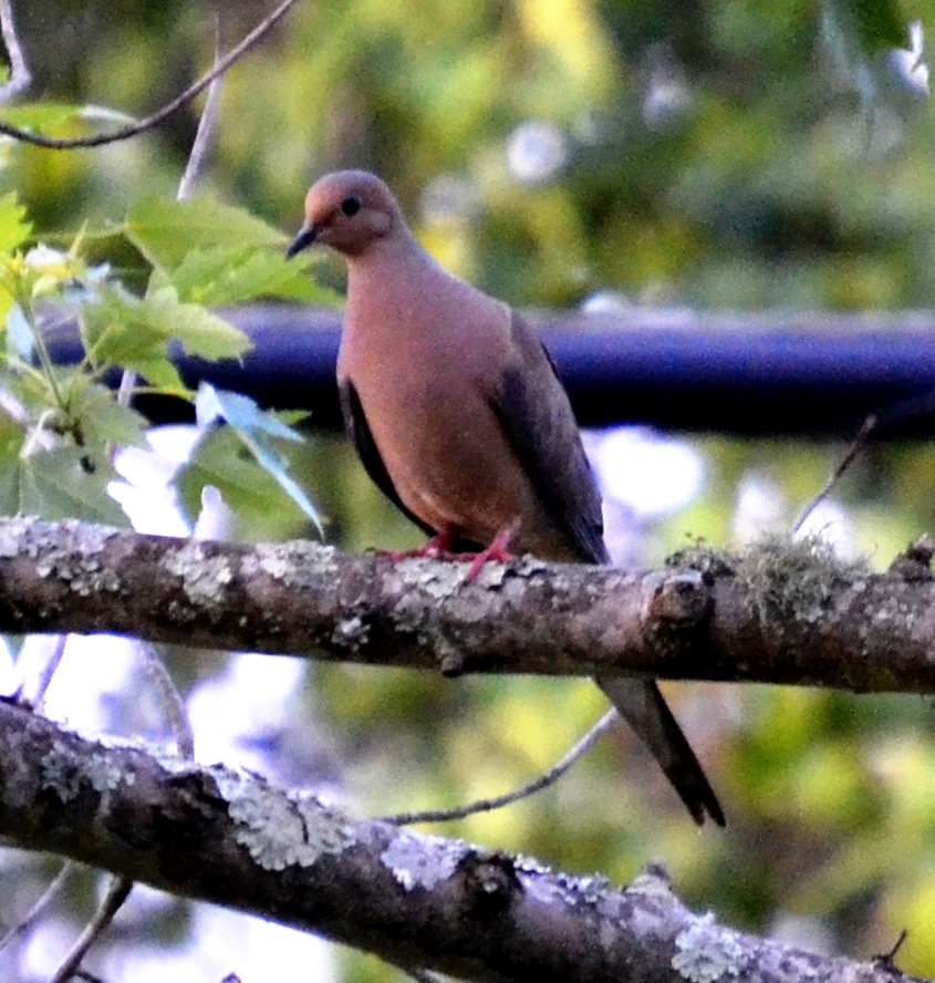 Picture of mourning dove