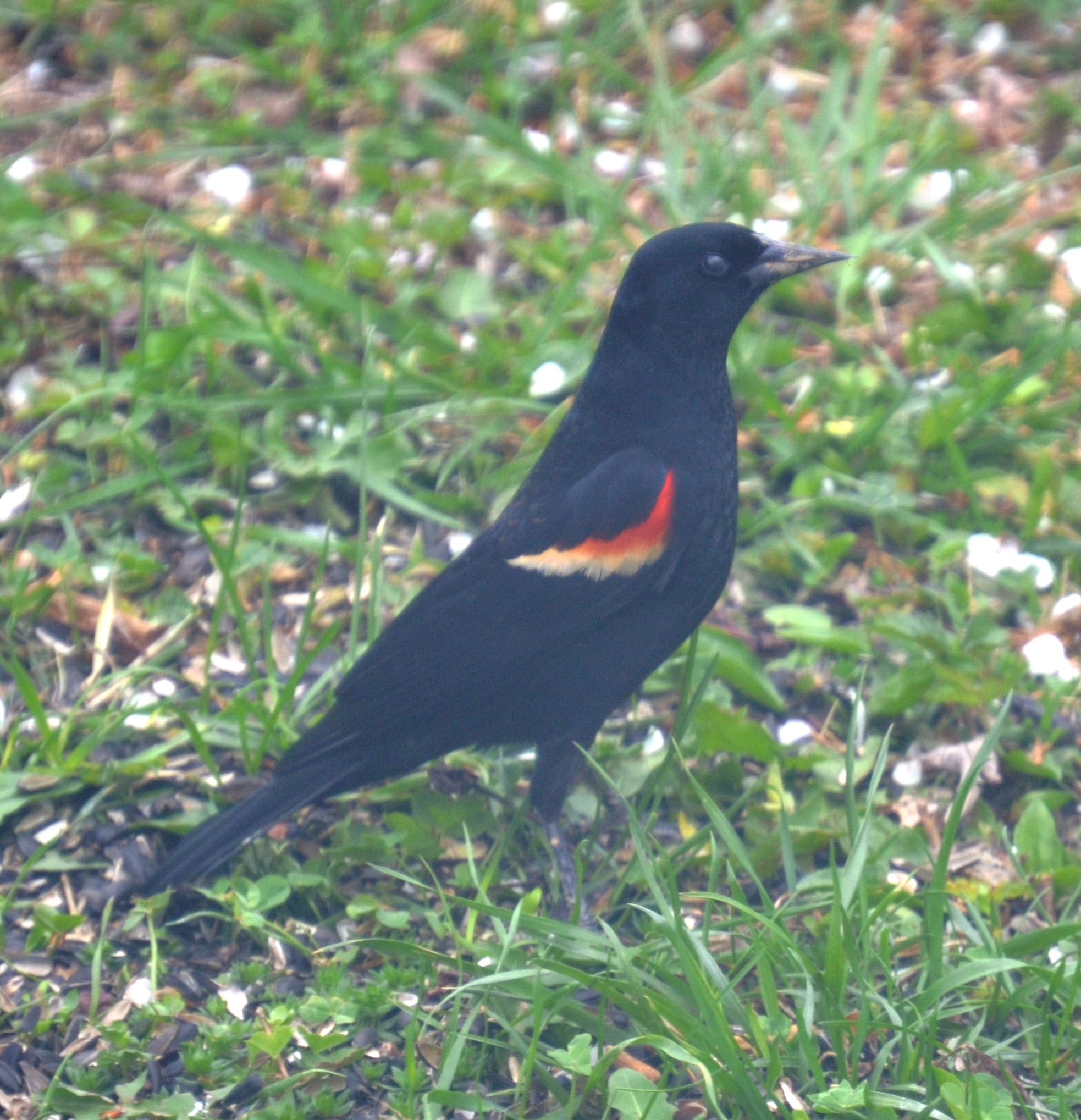 Picture of male red-winged blackbird