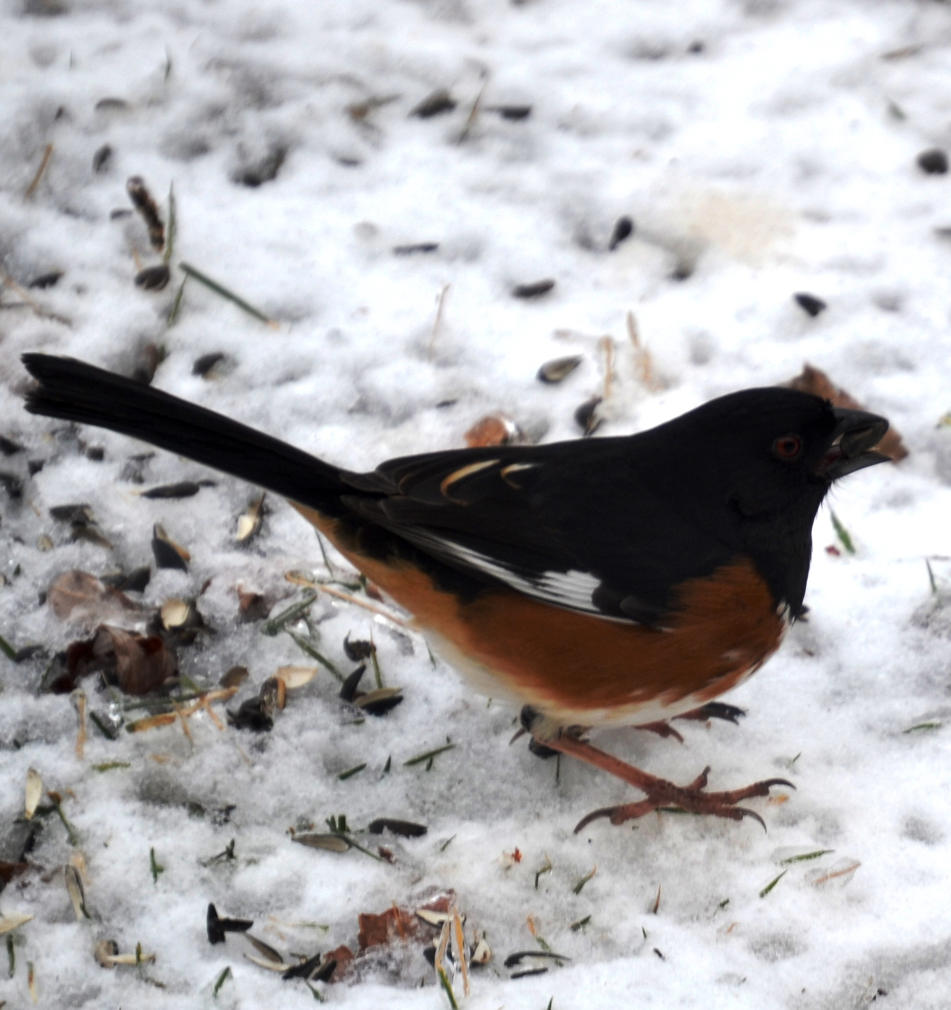 Picture of Eastern Towhee