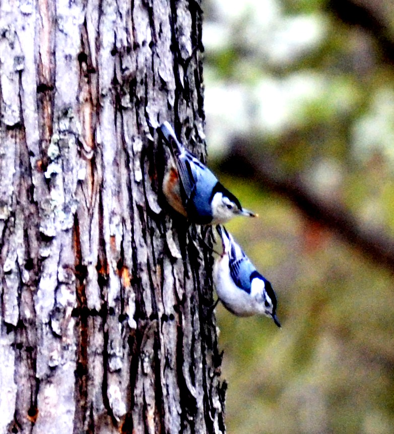 Picture of two white-breasted nuthatches