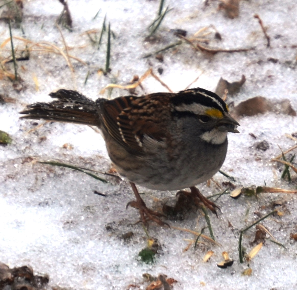 Picture of White-throated sparrow